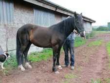 All Rounder horse - 4 yrs 14.0 hh Black - Powys