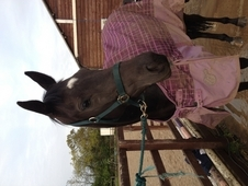 Beautiful 16hh mare for part loan