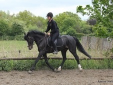 All Rounder horse - 6 yrs 15.1 hh Dark Bay - Surrey