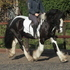 Flashy 14.2hh Coloured Cob