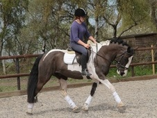 Flashy 14. 2hh Coloured Irish Middleweight Pony
