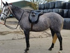 Absolutely stunning rising 5 yrs Dappled Grey Mare. . Approx 16 h...