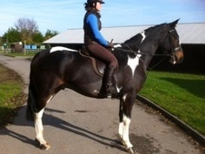 All Rounder horse - 5 yrs 16.2 hh Coloured - Gloucestershire