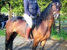 All Rounder horse - 4 yrs 10 mths 15.2 hh Bay - Essex
