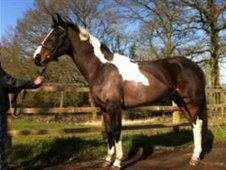 Sports Horses horse - 5 yrs 16.1 hh Coloured - Berkshire