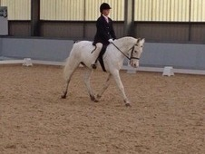 All rounder 14. 2hh Grey spotty mare