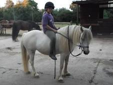 Very pretty welsh 13hh grey mare 7yr old