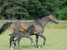 All Rounder horse - 4 yrs 0.0 hh Dark Brown - Bedfordshire