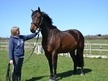 All Rounder horse - 8 yrs 1 mth 17.0 hh Dark Bay - Essex