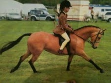 Showing horse - 10 yrs 11 mths 13.0 hh Dun - Cheshire