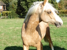 Beautiful palomino Welsh Section D gelding to make 15. 1-15. 2hh