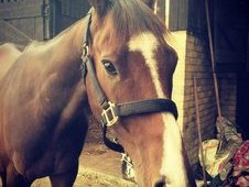 Stunning 16. 2hh 5 Year Old Thoroughbred