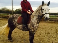 14. 2hh Registered Connemara 5 Years Old
