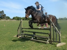 Show Jumpers horse - 11 yrs 15.0 hh Dark Brown - Norfolk