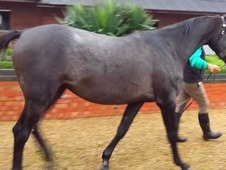 Stunning Steel Grey Kwpn Indorado Filly