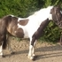bombproof 14.2hh family pony