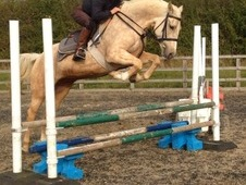 15. 1hh Palomino With Amazing Potential!!