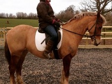 Cobs horse - 5 yrs 14.2 hh Chestnut - Cheshire