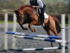 All Rounder horse - 10 yrs 16.0 hh Chestnut - Powys