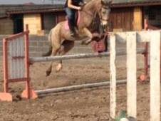 Ross Dolly - 15hh 8yr old mare