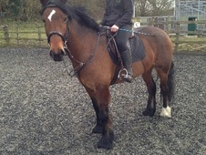 All Rounder horse - 8 yrs 1 mth 15.0 hh Bay - Hertfordshire