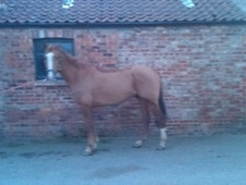 Performance Horses horse - 9 yrs 16.1 hh Chestnut - North Yorkshire