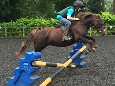 Pretty 11yr 12hh Registered Welsh Section B Mare: Templedruid Haiku