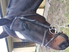 Handsome Dark Bay Gelding