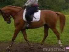 All Rounder horse - 5 yrs 16.0 hh Chestnut - Lancashire