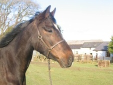 All Rounder horse - 3 yrs 15.2 hh Bay - Dyfed