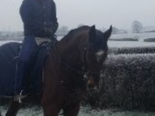 All Rounder horse - 10 yrs 11 mths 16.2 hh Bay - Shropshire