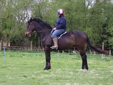 All Rounder horse - 4 yrs 8 mths 16.2 hh Bay - Norfolk