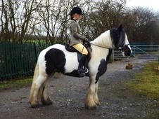 Coloured horse - 4 yrs 2 mths 14.2 hh Coloured - Cheshire