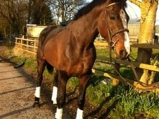 Sports Horses horse - 5 yrs 16.3 hh Bay - Berkshire