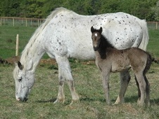 All Rounder horse - 6 yrs 17.2 hh Appaloosa - Wiltshire