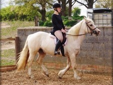Welsh Cob Section D Palomino Mare