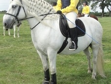 Mountain & Moorland horse - 12 yrs 14.2 hh Grey - Cambridgeshire