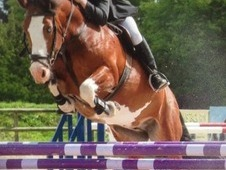 Top Quality Show Jumper/allrounder