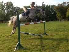 Talented 16. 1hh Competition Show Jumper