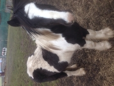 Black and white cob 3 years old