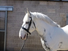 Hunters horse - 4 yrs 16.0 hh Coloured - Somerset