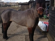All Rounder horse - 10 yrs 9 mths 13.1 hh Bay - Kent