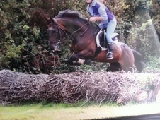16. 1 Warmblood For Sale