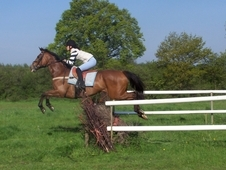 16. 2 hh Bay Gelding For Sale