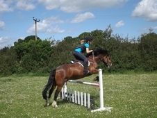 Terrific Jumper! 13. 2h 8yo Bay New Forest Gelding
