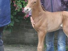 All Rounder horse - 4 yrs 0.0 hh Bay - Bedfordshire