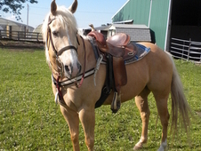 Palomino Horse Available For Good Home.
