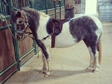 Bonnie, 12h, Dartmoor Hill Pony, 3 Years, Filly - Kent