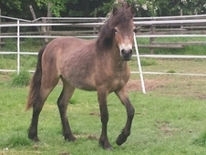 11. 3 Hands Exmoor Mare Rising 2 Yrs