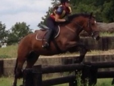 All Rounder horse - 4 yrs 14.0 hh Bay - Nottinghamshire